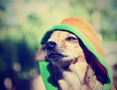 stock photo of pooch  - a cute chihuahua in a hoodie done with a vintage retro instagram - JPG