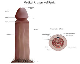 foto of ejaculation  - Medical Anatomy of Penis - JPG