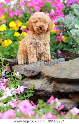 Toy Poodle puppy sitting on rock wall in garden