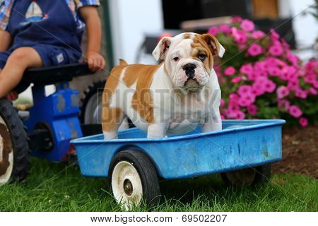 English Bulldog puppy standing in toy blue wagon