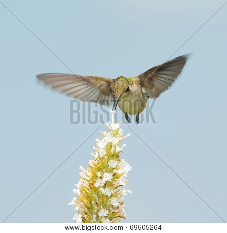 Frontal view of a Hummingbird feeding on white Buddleia flower in flight