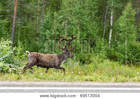 Reindeer Running On The Side Of The Road In The Green Forest