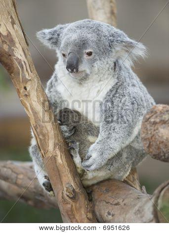 Australian Koala Bear Adult Female With Her Baby Joey On Belly