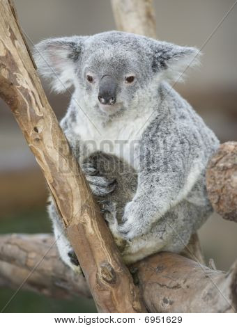 Koala Bear Australian Adult Female Carrying Baby Joey
