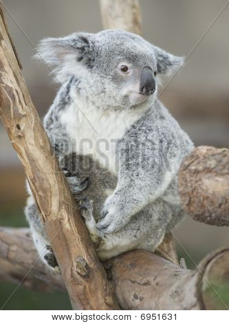 Australian Koala Bear Adult Female With Her Baby Joey On Belly