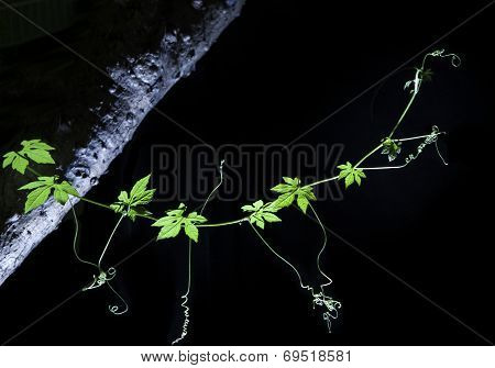 Bitter Cucumber Climbing Plant On Tree Branch Isolated Black Background By Studio Lighting