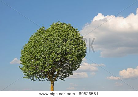 Broad Leaf Tree Against Blue Sky With Clouds