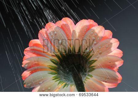 Gerber Daisy In The Rain