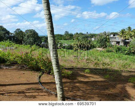 Manioc Field