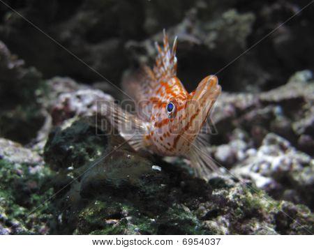 Longnose Hawkfish In Aquarium