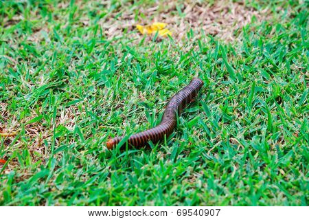 The Giant Millipedes