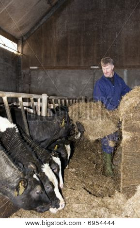 Feeding Cattle