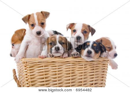 group of jack russel terrier puppies in a basket