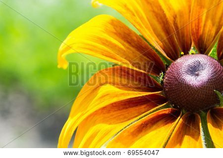 Blooming Rudbeckia  Black-eyed Susan flower