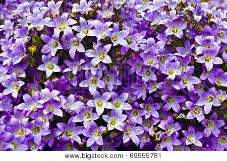 Campanula flowers.