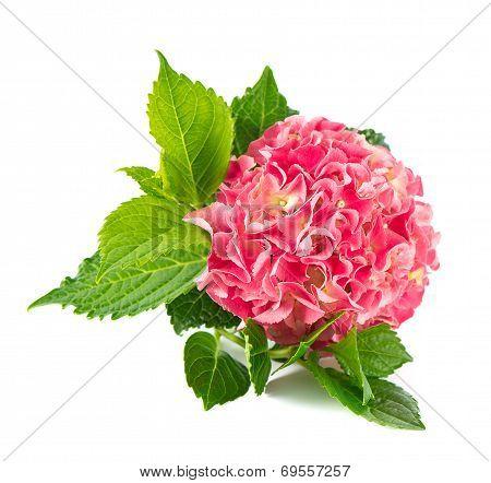 Pink Hortensia Blossom. Fresh Hydrangea Flower