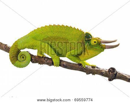 Three-horned Chameleon (chamaeleo Jacksoni Xantholophus)