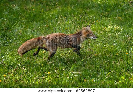 Red Fox (vulpes Vulpes) Runs Through Dewy Grass