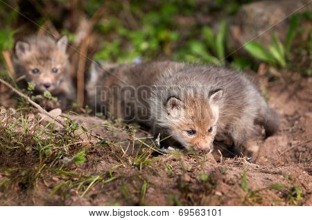 Three Red Fox Kits (vulpes Vulpes) Sniff Around Near Den