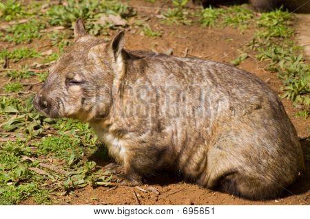 Aussie Wombat