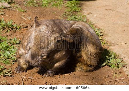 Scratching Hairy-Nosed Wombat