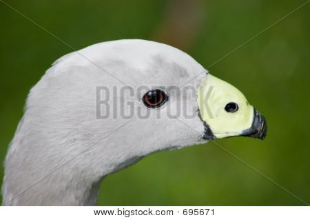 Cape Barren Goose Intimate