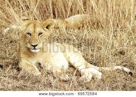Masai  Mara Lion Cub