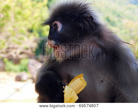 Spectacled Langur (trachypithecus Obscurus) With Banana