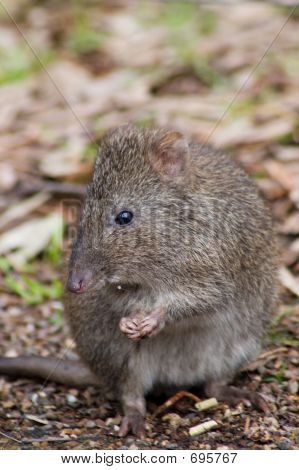 Potoroo Eating A Pellet