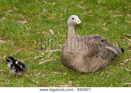 Cape Barren Goose And Her Chick