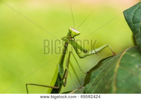 praying mantis in the peruvian Amazon jungle at Madre de Dios Peru