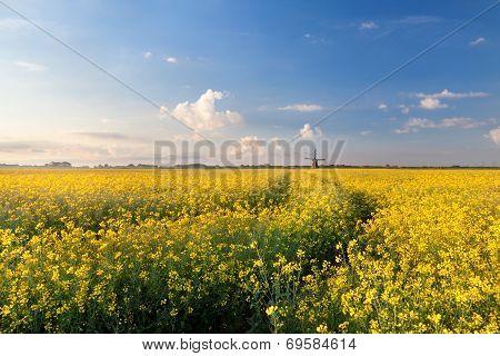 Oilseed Flower Field In Morning Light