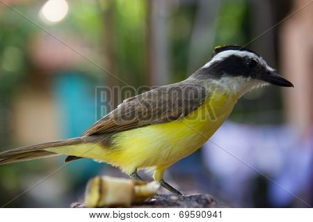 Side View Of A Yellow Bird (great Kiskedee)