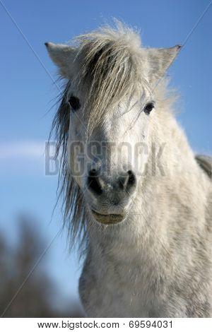 Headshot of a white pony wintertime