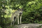 stock photo of wolf-dog  - A timber wolf in a forest environment - JPG