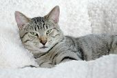 foto of gey  - Close shot of a gray tabby - JPG