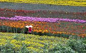 picture of dong  - Vietnamese women working in a flower farm in Dalat city - JPG
