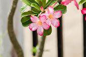 pic of desert-rose  - Desert Rose or Impala Lily or Mock Azalea flower in the garden - JPG