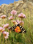 picture of primrose  - butterfly tiger moth  - JPG