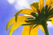 foto of black-eyed susans  - Blooming Rudbeckia  Black - JPG