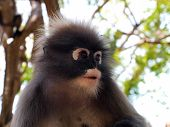pic of spectacles  - The spectacled Langur is also known as the Dusky Leaf Monkey or Spectacled Leaf Monkey - JPG