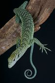 picture of monitor lizard  - The Biak tree monitor is endemic to Biak island - JPG