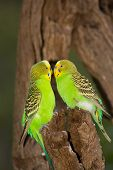 Friendly Budgies