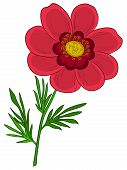 image of adonis  - Red flower adonis with green leaves - JPG