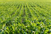 image of zea  - Fresh young green maize or corn plants Zea mays growing in receding lines in an agricultural field full frame background view - JPG