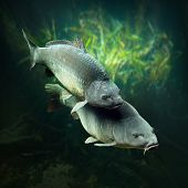 picture of spawn  - Underwater photo of a spawning big Carps  - JPG