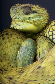 picture of tree snake  - The hairy bush viper is a spectacular snake species due to the highly keeled scales - JPG