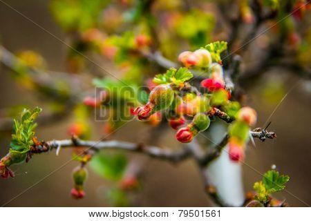 Fresh Green Gooseberries On A Branch Of Gooseberry Bush