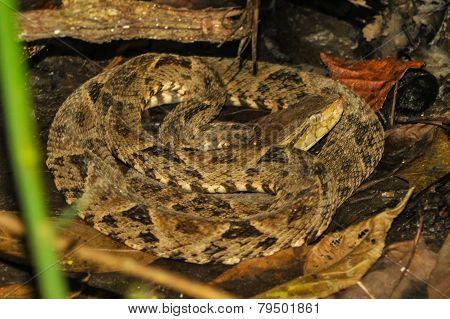 Bothrops Asper Snake In Tropical Rain Forest