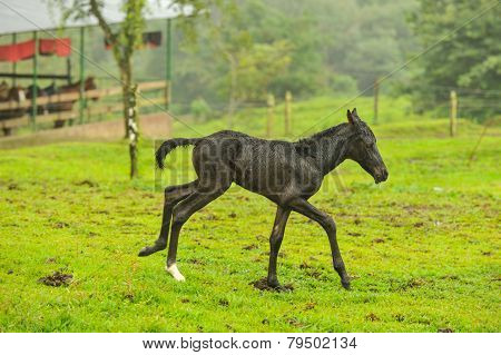 Two Day Old Foal Running In Field